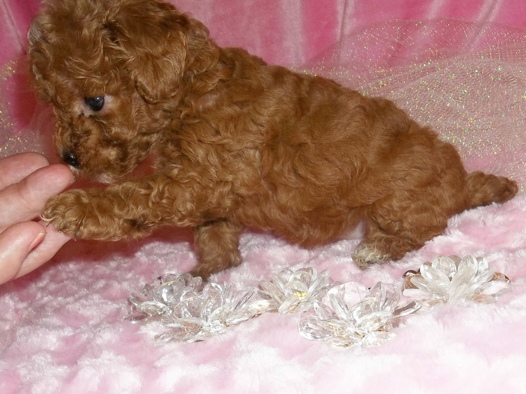 Toy poodles for sale yorkie mountain pets princess seven weeks later she is 5 lb at 13 weeks so will be larger than the chart said going by her birth weight she is 150000 sold nvjuhfo Images