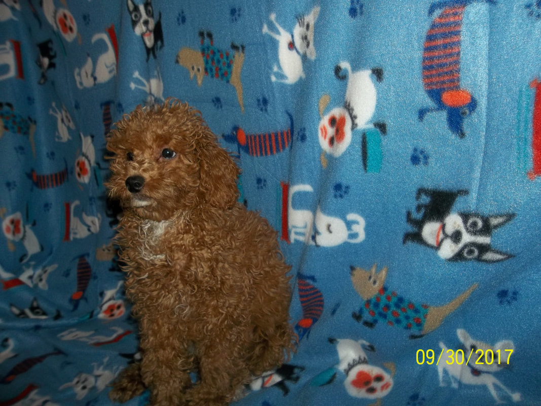 Toy poodles for sale yorkie mountain pets picture nvjuhfo Images