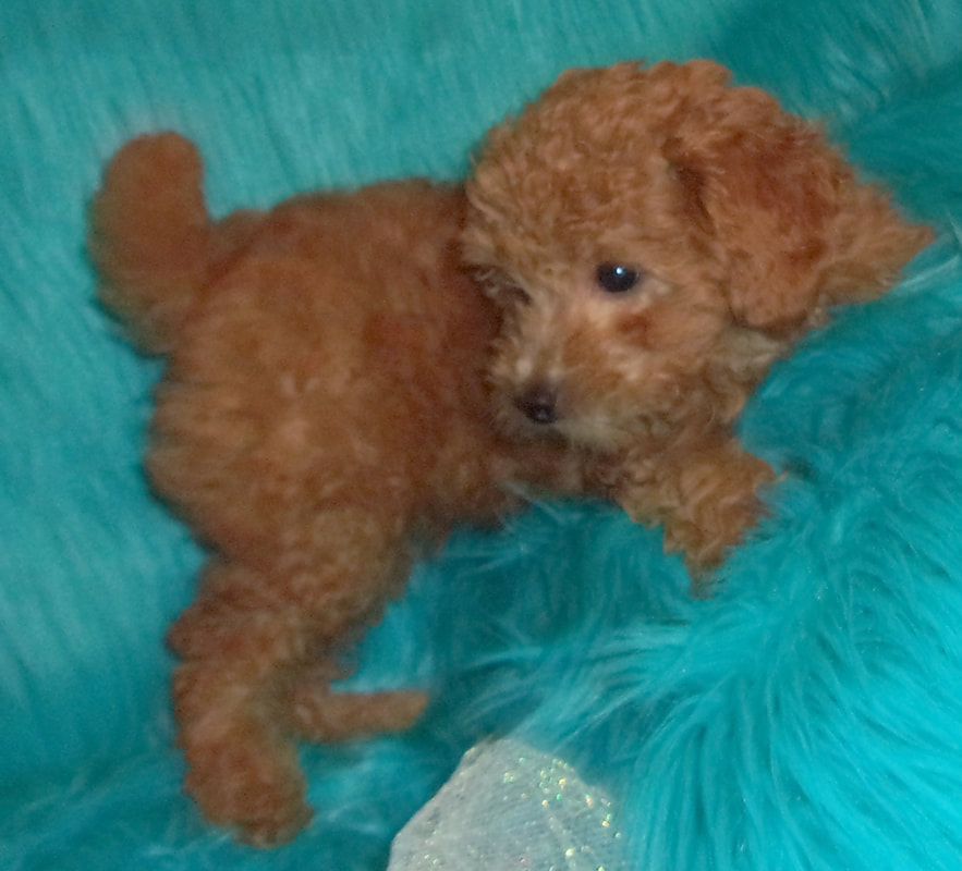 Toy Poodles For Sale - Yorkie Mountain Pets
